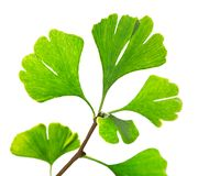 Green ginkgo biloba Stock Photos