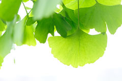 Green Ginkgo Leaves Royalty Free Stock Photos