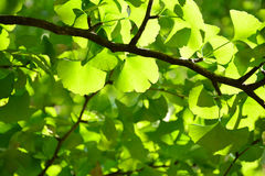 Green ginkgo leaves. Royalty Free Stock Photography