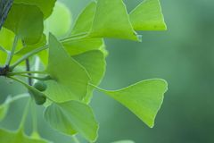 Green ginkgo leaves stock image
