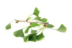 Green Ginkgo Stock Photo