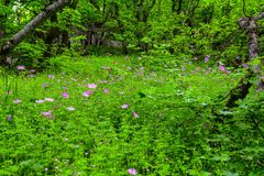 Green glade with beautiful pink flowers Stock Photo