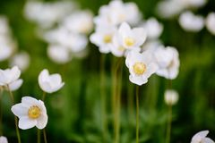 Green glade with white anemone flowers in spring garden. Beautiful glade of the spring flowers. Anemone Nemorosa. The white flower is captured close-up against a stock photos