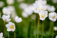 Green glade with white anemone flowers in spring garden. Beautiful glade of the spring flowers. Anemone Nemorosa. The white flower is captured close-up against a royalty free stock photography