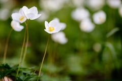Green glade with white anemone flowers in spring garden. Beautiful glade of the spring flowers. Anemone Nemorosa. The white flower is captured close-up against a royalty free stock images
