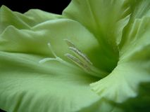Green Gladiolus Royalty Free Stock Images