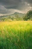 Green grass in field Royalty Free Stock Photos