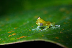 Green glass frog Royalty Free Stock Photography