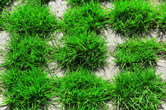 Green grass,grassland,lawn. Green glass grow in cement grille and full of vigour Royalty Free Stock Photo
