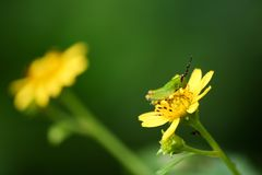 Green glasshopper on the yellow flower in the garden. Royalty Free Stock Photography