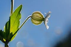 Green Globule white flower. Silene vulgaris, Green Globule white flower, backlight Stock Images