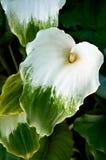 Green Goddess Calla Stock Images