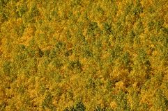 Green and Gold Aspen Stock Photography