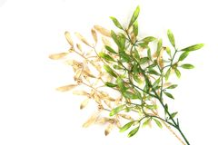 Green and gold christmas mistletoe background Royalty Free Stock Photos