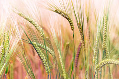 Green & Gold Crop Field Royalty Free Stock Photos