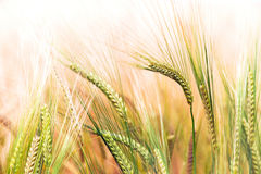Green & Gold Crop Field Royalty Free Stock Photography