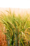 Green & Gold Crop Field Stock Photography