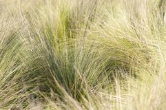Southern California bunch grasses used in garden landscaping royalty free stock photo