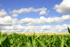 Green and Gold Fields, Blue Skies. A picture of a green cornfield in the foreground, a golden wheat field in the middle, and blue skies Stock Image
