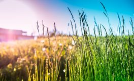 Green and gold grasses. Green and gold sunlit grasses in field royalty free stock photo