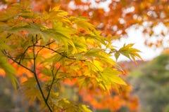 Green and Gold Maple Leaves at Koko-en Garden in Himeji, Japan. Green and Gold Maple Leaves on a blurred autumn foliage background at Koko-en Garden in Himeji royalty free stock photo