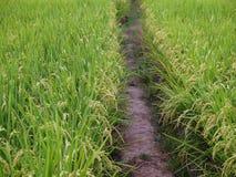 Green gold rice farm Stock Image