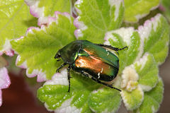 Green and gold scarab (cetonia aurata) Royalty Free Stock Image