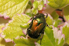 Green and gold scarab (cetonia aurata) Stock Images