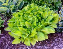 Green and Gold Variegated Hosta. Hostas are Perennial Plants That Grow in Shady Areas Stock Photography