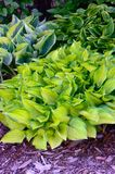 Green and Gold Variegated Hostas Royalty Free Stock Photography
