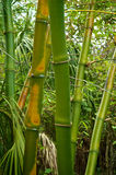 Green and golden bamboo Stock Photo