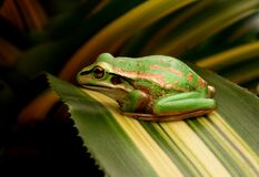The Green and Golden Bell Frog Stock Photos