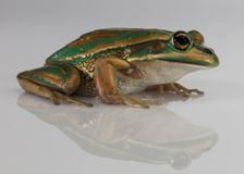 Green and golden bell frog with reflection and copy space royalty free stock images