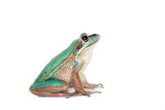 The green and golden bell frog on white Royalty Free Stock Image