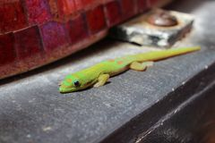 Green Golden Dust Day Gecko sunning itself Royalty Free Stock Photography