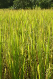 Green golden rice field Stock Images