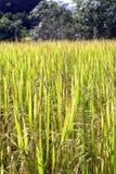 Green golden rice field Stock Photos