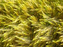 Green and golden sprouts and stems of grain wheat royalty free stock photography