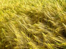 Green and golden sprouts and stems of grain wheat stock photo