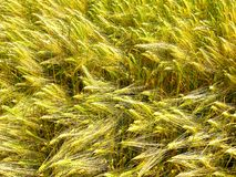 Green and golden sprouts and stems of grain wheat royalty free stock photo