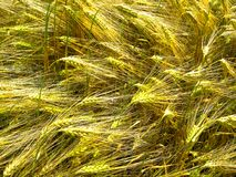 Green and golden sprouts and stems of grain wheat royalty free stock images