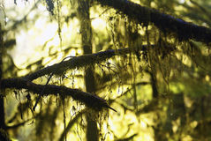 Green Golden sunshine through rainforest trees and Royalty Free Stock Images