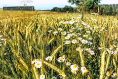 Green and golden wheat field with white daisies Stock Image