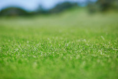 Green golf courses lawn. Closeup of green golf courses lawn Royalty Free Stock Images