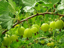 Green gooseberries. Some green gooseberries on the branch royalty free stock images