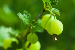 Green Gooseberries Royalty Free Stock Images