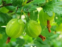 Green gooseberries. Some green gooseberries on the branch with rain drops stock photo