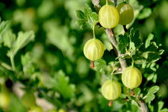 Green gooseberries on a branch Royalty Free Stock Photos