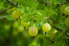 Green gooseberries on a branch Stock Photos