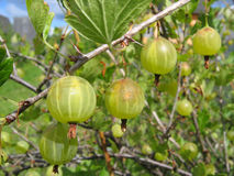 Green gooseberries on the branch. Green gooseberries close-up on the branch Royalty Free Stock Images